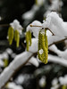 Spring will come 1 (flickrolf) Tags: snow white hazel flower yellow green spring winter