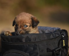 The pup in the bag. (abhishekskumar) Tags: dog pup cute puppy cuteness lovely birth rebirth