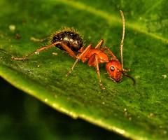 Harry the Hairy Ant (Darts5) Tags: carpenterant carpenterants ant ants insect insects insecteyes redandblackant bug bugs 7d2 7dmarkll 7dmarkii 7d2canon ef100l closeup canon7d2 canon7dmarkll canon7dmarkii canon canonef100l macro macros