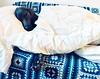 Napping... (VanaTulsi) Tags: vanatulsi weim weimaraner dog blueweim blueweimaraner