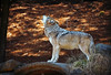 One Song Glory (MTSOfan) Tags: howl wolf mexicangraywolf lvz sing call