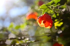 Abutilon flowering maple (runtoren) Tags: botanicgarden botanical mtcootha abutilonfloweringmaple abutilon orange floweringmaple bellshapedleaves greenleaves orangeflower blossom sunlight flora flower fresh orangepetals nature chineselanterns lightfilled sunshine sun australia