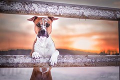 Jekku and sunrise (Le-laa) Tags: sunrise jekku dog dogphotography dogportait canon6d canon amstaff americanstaffordshireterrier