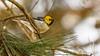 Hermit Warbler (Bob Gunderson) Tags: birds california hermitwarbler lakemerced northerncalifornia sanfrancisco setophagaoccidentalis sunsetwoodenbridge warblers woodwarblers ngc