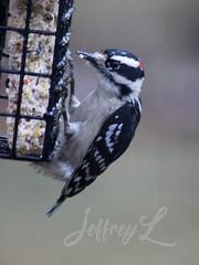 Downy Dew (J_Dubb94) Tags: downy woodpecker birds wildlife outdoors