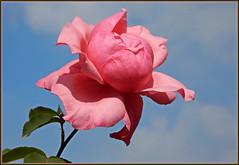 Eine Rose für Dich ... (Kindergartenkinder) Tags: rose kindergartenkinder