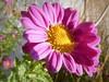 All hail the sun (mrsparr) Tags: 7dwf prettyinpink flower earlymorningsun morningsun sunlight macro pink crazytuesdaytheme