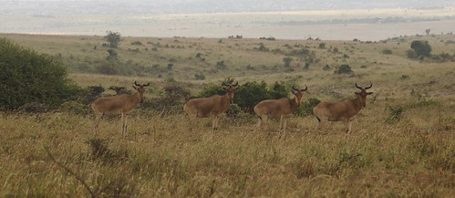 A Line of Hartebeest