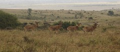 A Line of Hartebeest (liam.ragan) Tags: animal wildlife nature creature alive life hartebeest hartebeests nairobi kenya africa nairobinationalpark mammal mammals savanna eastafrica