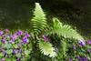 fougère et campanules (buch.daniele) Tags: plantesfleursflowers fougères iris surfinia vertgreenviolet rougered blanc luminosité parcdelavillataranto danièlebuch italia italienord europe