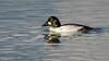 Common Goldeneye (m) (Bob Gunderson) Tags: birds bucephalaclangula california commongoldeneye divingducks ducks northerncalifornia santaclaracounty seaducks shorelinelake southbay