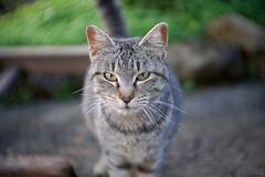 Libre (mike828 - Miguel Duran) Tags: sony alpha a6300 fujian 35mm f17 cctv lens dof bokeh gato cat animal