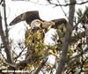 Bald Eagle pair NJ shore (Mike Black photography) Tags: bald eagle bird nature birding nj new jersey shore black white canon mike january 2018