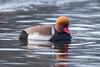 Red Crested Pochard (Simon Stobart) Tags: red crested pochard netta rufina swimming water lake northeast england