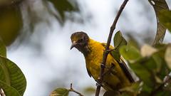 DSC_1841.jpg (naser7363) Tags: blackheadedoriole birds