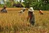 IMG_0481 (Kalina1966) Tags: bali island indonesia people rice field