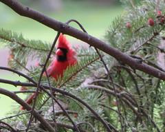 IMG_9323 (stevefenech) Tags: canada ontario stephen steve fenech fennock birds bird cardinal