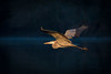 Crossing (gseloff) Tags: greatblueheron bird flight bif animal wildlife nature water bayou horsepenbayou pasadena texas kayak gseloff