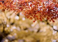 やっと撮り終わって現像あがってきた季節外れな写真😅 #紅葉 #去年の秋 #autumn #autumnleaves #pentax #asahipentax #pentaxkm #oldcamera #ペンタックス #フィルム一眼 #フィルムカメラ #オールドカメラ #smcpentaxm #75-150mmf4 #filmphotography #analogphotography #35mm #fujifilm #film #業務用100 (yadoku_frog) Tags: instagram ifttt