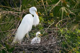 Great Egret with Chick - Gatorland - Orlando, Florida
