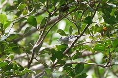 Herpsilochmus stictocephalus RocheCorail nord 040318 (alapi973) Tags: thamnophilidae herpsilochmusstictocephalus antbird antwren neotropical amazonia fbwnewbird