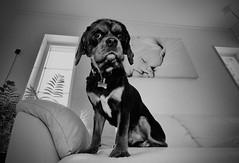 IGuardThisHouse (indyelvis) Tags: guard littledoglaughednoiret
