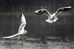galu_020213 (gagulski.pl) Tags: krakow nowahuta nh zalew ptak ptaki lot latanie woda jezioro rzeka ilustracja jesien polska