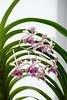 AOS 1.2018-4 (Jordan Cataldo) Tags: aos american orchid society st paul mn winter carnival