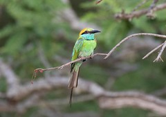 Bee-eater (arthurpolly) Tags: avian avianexcellence birds beautiful bird canon 100400is 7dmk2 eos elements13 exotic flickrdiamond beeeater holiday nature natureselegantshots nationpark photoshop unforgettablepictures wildlife yala
