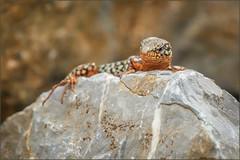 Mauereidechse (Wall lizard) (tzim76) Tags: podarcis muralis mauereidechse eidechse reptilien wall lizard stein warm trocken