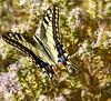 En mi opinión una de las mariposas más bonitas y grandes de las que tenemos por Málaga, la Papilio machaon ......Está en particular se hizo amiga mía y me permitió hacerle un reportaje completo ..... . (EMferrer) Tags: lepidoptera fotografiamacro macrobrilliance mariposa insectsinstagram mariposas insectos insecto topmacro lepidoptero naturelovers butterfly mariposasdiurnas fotosmacro macrophotograph macrofotografia papilio wildlife insect macrocaptures lepidopteros fotomacro macrobutterfly papiliomachaon bestmacro mariposadiurna macrofo enriquemalaga macroshot