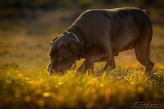 Cane Corso and the Smell of Bokeh Rings (Neferkheperure) Tags: canecorso outdoor blackdog sniffing bokeh bigdog