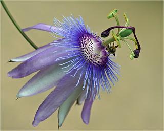 Passionflower wish visitor