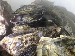 image (muzina_shanghai) Tags: oyster 牡蠣 カキ 蒸し牡蠣 steamedoyster