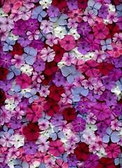 58773.01 Phlox, Hydrangea macrophylla 'Endless Summer' (horticultural art) Tags: horticulturalart phlox hydrangeamacrophyllaendlesssummer flowers pattern