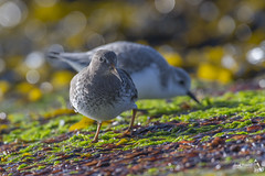 Purple Sandpiper, Calidris maritima (Nature Exposed) Tags: purplesandpiper sanderling sandpiper sandpipers wader waders waterbird waterbirds nature natureexposed naturephotography wildlife wild wildlifephotography leighprevost leighprevostphotography southsea hampshire hampshirebirding hampshirebirds hants coast coastal seashore sea