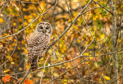 Barred Owl.... (Kevin Povenz Thanks for all the views and comments) Tags: 2016 october kevinpovenz luther michigan upnorth owl barredowl bird birdsofprey fall tree autumn canon7dmarkii sigma150500 nature wildlife outdoors outside