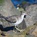Spotted Sandpiper (non-breeding plumage)