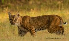 Bobcat (Lindell Dillon) Tags: bobcat wildlife oklahoma nature wildoklahoma lindelldillon