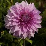 Sausalito - Dahlia thumbnail