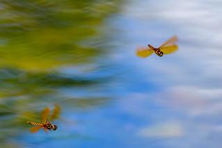 Eastern Amberwing Dragonflies, Hovering