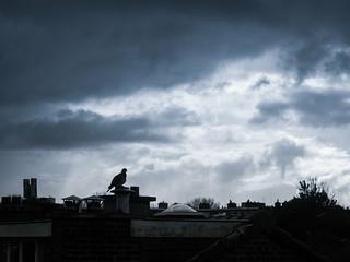 Lonely Dove
