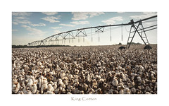 King Cotton (TuthFaree) Tags: cotton bolls defoliated crop agriculture farming pivot irrigation ga swga georgia