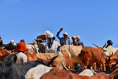 Cattle market in Aksum (Neal J.Wilson) Tags: africa travel african ethiopia ethiopian nikon d5600 markets cattle cows buying selling aksum