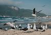 (Valéria Felix) Tags: naturephotography florianopolis birds nature sky montain ocean sea mar beach blue brazil brasil natureza brazilianbeach praia nikon gaivota trip travelphotography fly flyght seagull 50mm