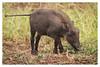 2018 02 01_Warthog-1 (Jonnersace) Tags: africa warthog canon7dii canon100400ii krugernationalpark wildwingssafaris vlakvark mammal hair hoglet grass tail trotters foraging eyes youngster piglet ears snout pumba phacochoerusafricanus southafrica