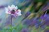 Anemone (Rita Eberle-Wessner) Tags: flower blume anemone makro macro plant pflanze anemonecoronaria tiefenschärfe depthoffield kronenanemone bokeh violett violet pink rosa