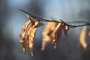 Feuille. (aracobis) Tags: hélios442 m39 vintagelens canon7d forêt nature février2018 hivers feuille