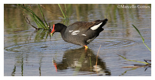 Common Gallinule (Gallinula galeata) COGA - A Mouthful of Weed... (Best seen large)