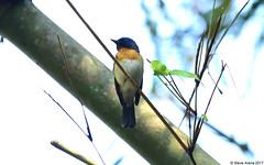 Blue-throated Flycatcher (Cyornis rubeculoides) (Steve Arena) Tags: maewong maewongnationalpark dawnamountainrange amphoemaewong changwat nakhonsawan httpthailandbirding2017blogspotcom thailandbirding2017 thailandhttpthailandbirding2017blogspotcom2017 2017 nikon d750 bird birds birding nature bluethroatedflycatcher flycatcher cyornisrubeculoides